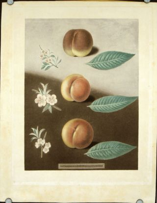 Plate XXX. [Millet's minion, Super royal and the Double swalsh peaches.] Aquatint from Pomona...