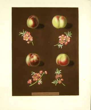 Plate XXXVIII. [Claremont, Homerton's white, Ford's black and the Genoa nectarines.] Aquatint...