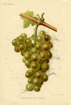 Raisin President Gaston Chandon. GRAPES