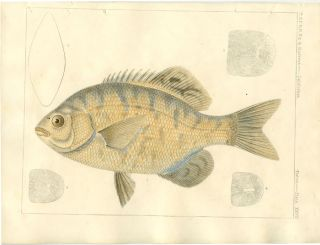 U.S.P.R.R. Ex. & Surveys. California. Fishes. Plate XXVII. FISH.