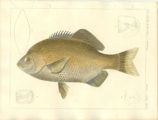 U.S.P.R.R. Ex. & Surveys. California. Fishes. Plate XXVIII. FISH.