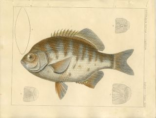 U.S.P.R.R. Ex. & Surveys. California. Fishes. Plate XXX. FISH.