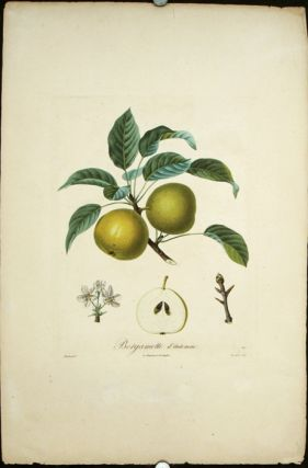 "Bergamotte d'Automne. (Color stipple engraving from ""Traite des Arbres Fruitiers""). PEARS"