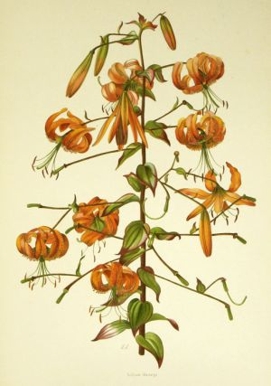 A supplement to Elwes' monograph of the genus Lilium. Parts I to IX.