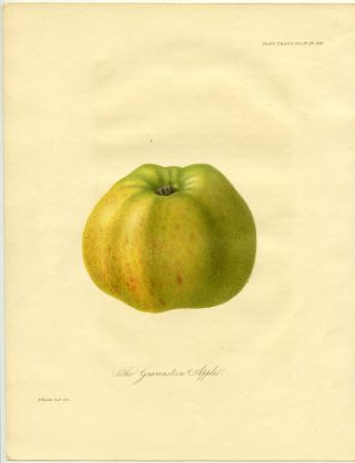 The Gravenstein Apple. APPLE.