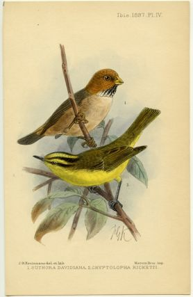 Suthora Davidiana. Cryptolopha Ricketti. CHINA - BIRDS.