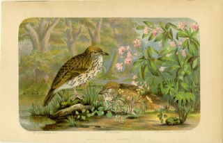 American Song Thrushes. AMERICAN BIRDS