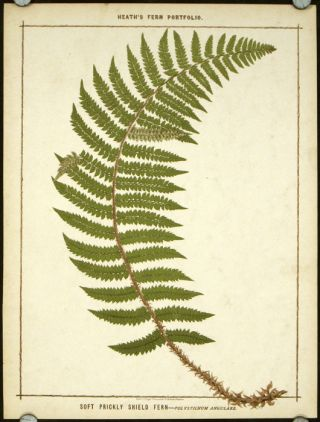 Soft Prickly Shield Fern - Polystichum Angulare. FERNS, Francis George Heath.
