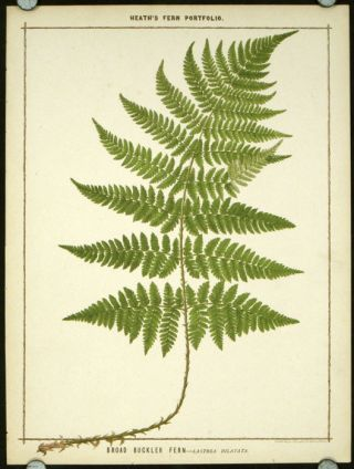 Broad Buckler Fern - Lastrea Dilatata. BOTANICAL - FERNS, Francis George Heath.