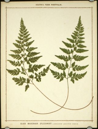 Black Maidenhair Spleenwort - Asplenium Adiantum Nigrum. FERNS, Francis George Heath