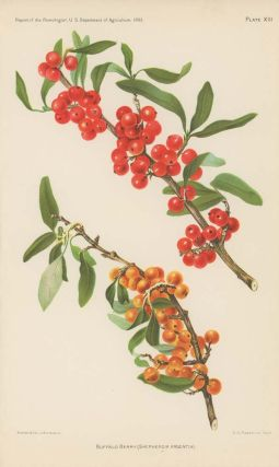Buffalo Berry (Shepherdia Argentia). BERRY