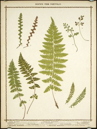 1. Alpine Polypody... 2. Lanceolate Spleenwort... 3. Lanceolate Spleen wort... 4. Scaly Spleenwort... 5. Scaly Spleenwort... 6. Rock Spleenwort... 7. Rock Spleenwort... 8. Rue-Leaved Spleenwort... 9. Rue-Leaved Spleenwort. BOTANICAL, Francis George Heath.