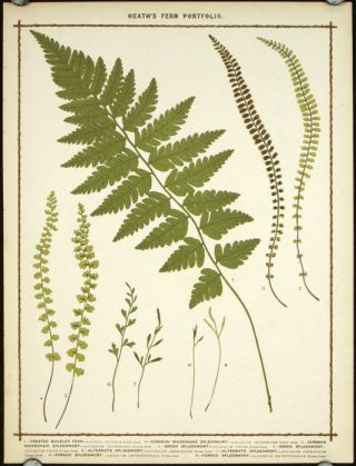 1. Crested Buckler Fern... 2. Common Maidenhair Spleenwort... 3. Common Maidenhair Spleenwort... 4. Green Spleenwort... 5. Green Spleenwort... 6. Alternate Spleenwort... 7. Alternate Spleenwort... 8. Forked Spleenwort... 9. Forked Spleenwort. BOTANICAL, Francis George Heath.