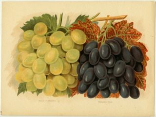 Muscat of Alexandria. Madresfield Court. GRAPES