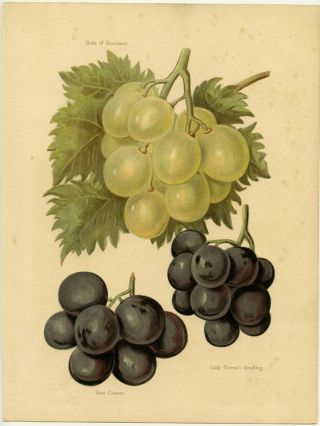 Duke of Buccleuch. Gros Colman. Lady Downe's Seedling. GRAPES