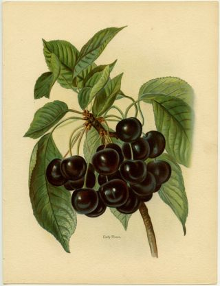 Early Rivers. CHERRIES