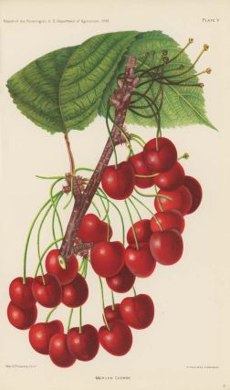 Mercer Cherry. CHERRY