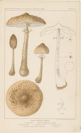 Lepiota Procera Scopoli. A. Embryonic form. 1. Young plant. 2. Cap expanding, umbonate. 3. Mature...