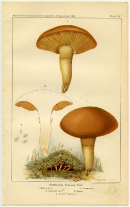 Cortinarius Turmalis, Fries. 1. Mature plant. 2. Under view. 3. Sectional view. 4. Spores. 5. Manner of growth. MUSHROOMS.