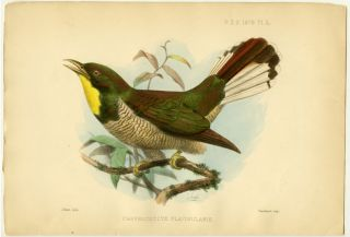 Chrysococcyx Flavigularis. AFRICA - BIRDS