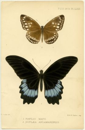 1. Papilio Mayo. 2. Euplaea Andamanensis. INSECTS - BUTTERFLIES