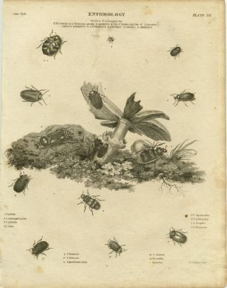 Entomology. Order Coleoptera. NB Cistela is a Fabrieian genus & answers to the Cryptocephalus of...