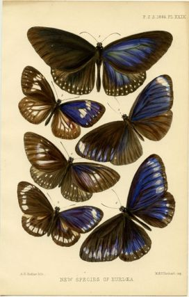 New Species of Eurloea (sic - Euploea). INSECTS - BUTTERFLIES