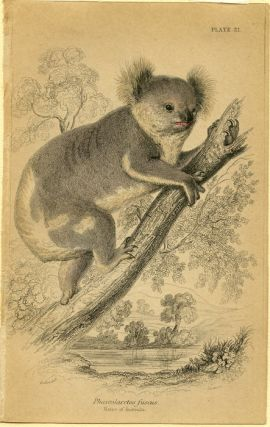 Phascolarctos fuscus. Native of Australia. KOALA