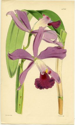 Cattleya (unidentified orchid). FLORAL MAGAZINE