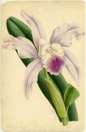 Untitled lithograph of a Cattleya orchid. CATTLEYA