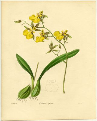 Oncidium reflexum. BOTANIST - REFLECTED ONCIDIUM