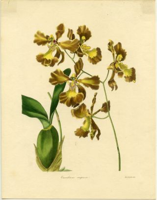 Oncidium Crispum. BOTANIST - CRISPED-FLOWERED ONCIDIUM