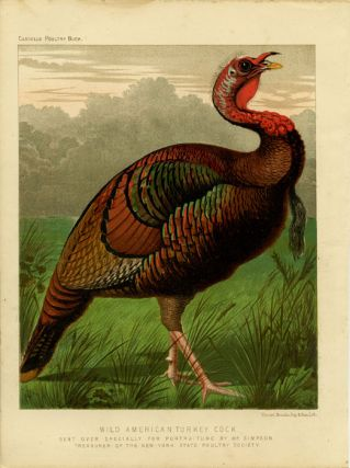 Wild American Turkey Cock. Sent Over Specially For Portraiture by Mr. Simpson. Treasurer of the...