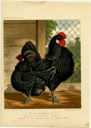 "Mr. J.W. Ludlow's Pair of BLACK FRIZZLED FOWLS, 3rd Prize in ""Any Variety"" Class at Oxford, 1872...."
