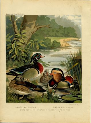 Carolina Ducks. Mandarin Ducks. Being Portraits of Mr. Leno's Celebrated Prize Pens. CASSELL'S...