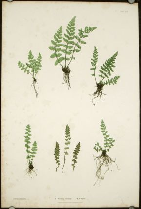A. Woodsia ilvensis. B. W. alpina. NATURE PRINTING