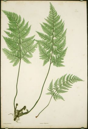 Lastrea foenisecii. NATURE PRINTING - ANTIQUE FERN