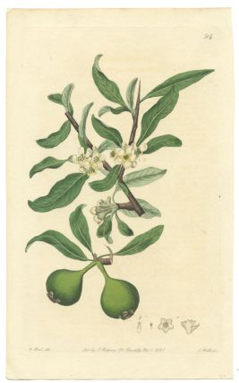 Antique botanical print. EUGENIA, Sydenham Edwards