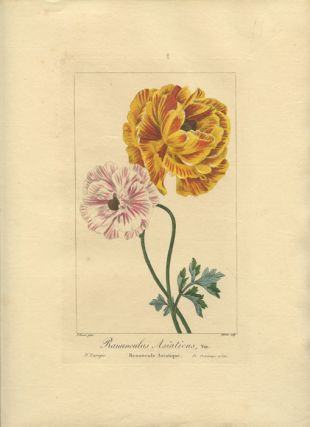 Ranunculus Asiaticus, Var. Renoneule Asiatique. EUROPE