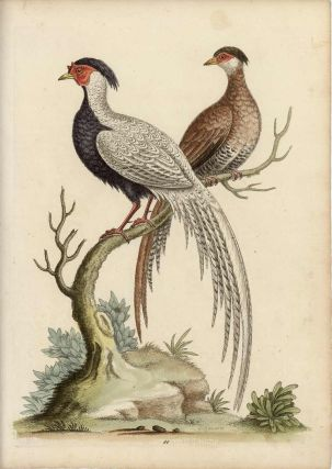 The Black and White Chinese Cock Pheasant, with its Hen. EDWARDS - EIGHTEENTH CENTURY COPPERPLATE...