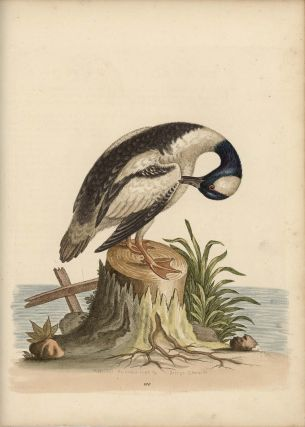 The little Black and White Duck. EDWARDS - EIGHTEENTH CENTURY COPPERPLATE ENGRAVINGS