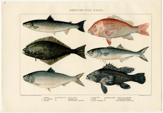 American Food Fishes. FISH