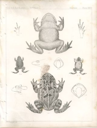 U.S.P.R.R. Ex. & Surveys. 85th Parallel. Reptiles. Plate XXVII. AMPHIBIAN - FROG