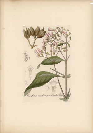 GROUP OF FOUR BOTANICAL ENGRAVINGS] Arum maculatum Lin. Cinchona condaminea Humb.et Bonpl. ...