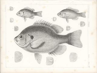 GROUP OF EIGHT lithographs of fish from the United States Pacific Railroad Reports of Explorations and Surveys.[Vintage Pacific Railroad Survey Lithograph]