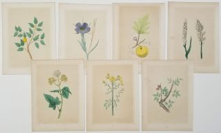 GROUP OF SEVEN HANDCOLORED BOTANICALS - 1856 - Ivy. Ebony. Rue. Corn Cockle. Gourd. Wheat. Balm....