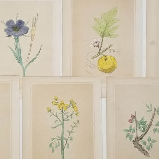 GROUP OF SEVEN HANDCOLORED BOTANICALS - 1856 - Ivy. Ebony. Rue. Corn Cockle. Gourd. Wheat. Balm.