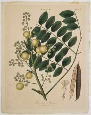 The Large Mimosa. Engraved for the Encyclopaedia Londinensis, 1817. MIMOSA BOTANICAL PRINT, John...